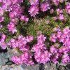 "Armeria juniperifolia ""Bevan´s Variety"""
