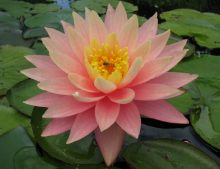 Nymphaea 'Sunny Pink'