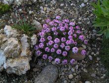 Aethionema saxatile - sivuľka skalná