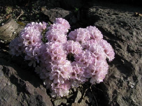 "Armeria juniperifolia ""Lelekovice"""