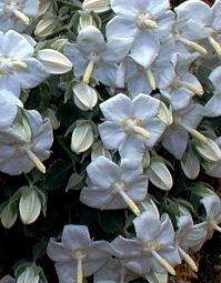 Campanula troegerae