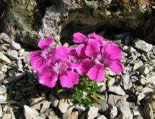 Dianthus alpinus - klinček alpský