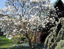 Magnolia stellata -magnólia hviezdokvetá