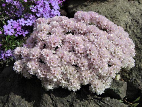 Armeria juniperifolia Lelekovice