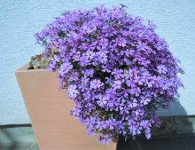 "Phlox ""Purple Beauty"""