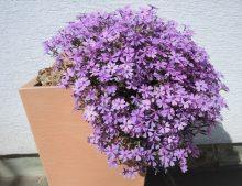 """Phlox """"Purple Beauty"""""""