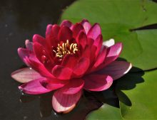 "Nymphaea ""Perry´s Baby Red"""