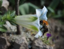 "Gentiana angustifolia ""Eisberg"""