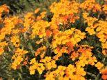 """Erysimum pulchellum """"Orange Flame"""""""