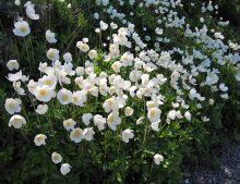 Anemone silvestris - veternica lesná