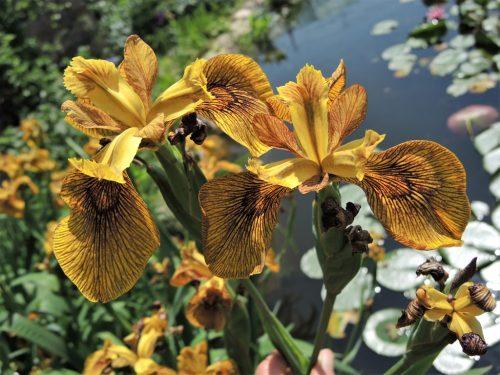 """Iris pseudacorus """"Phil Edinger"""""""