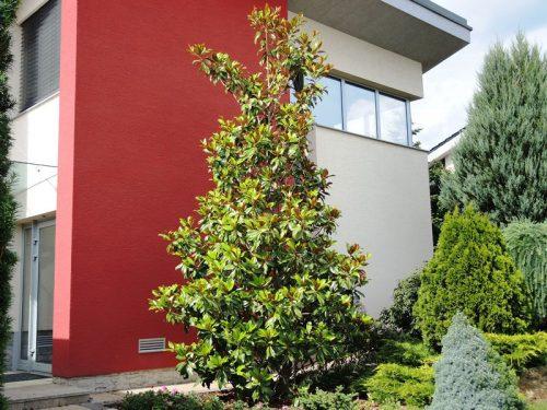 Magnolia grandiflora - magnólia veľkokvetá