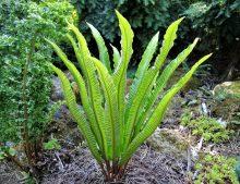 """Phyllitis scolopendrium """"Undulatum"""""""