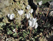 "Cyclamen hederifolium ""Albiflorum"""