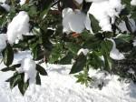 Listy magnólie veľkokvetej sa podobajú na listy fikusu.