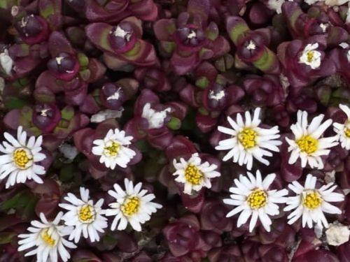 """Delosperma alpinum  """"Sunny Pass"""""""