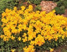 Flame' 'Orange' pulchellum Erysimum