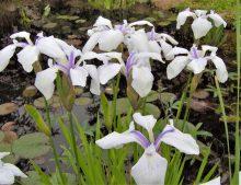 """Iris laevigata """"Alboviolacea"""""""