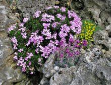 Daphne arbuscula - lykovec kríčkovitý