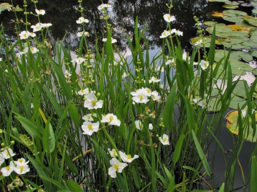Sagittaria angustifolia - šípovka úzkolistá