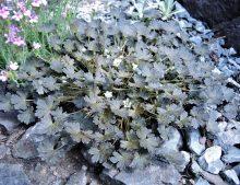 Geranium sessiliflorum var.nigrum