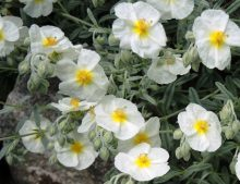 "Helianthemum ""The Bridge"""
