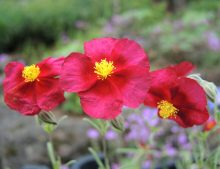 "Helianthemum ""Supreme"""