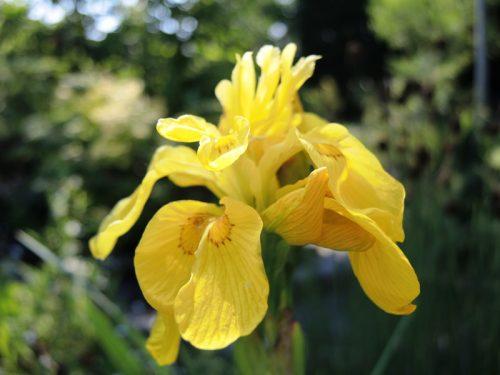"""Iris pseudacorus """"Flore Pleno"""""""