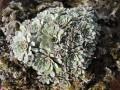 "Saxifraga paniculata ""White Hills"""