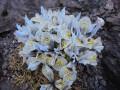 "Iris histrioides ""Katharine Hodgkin"""