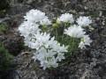 """Edraianthus graminifolius """"Albus"""""""