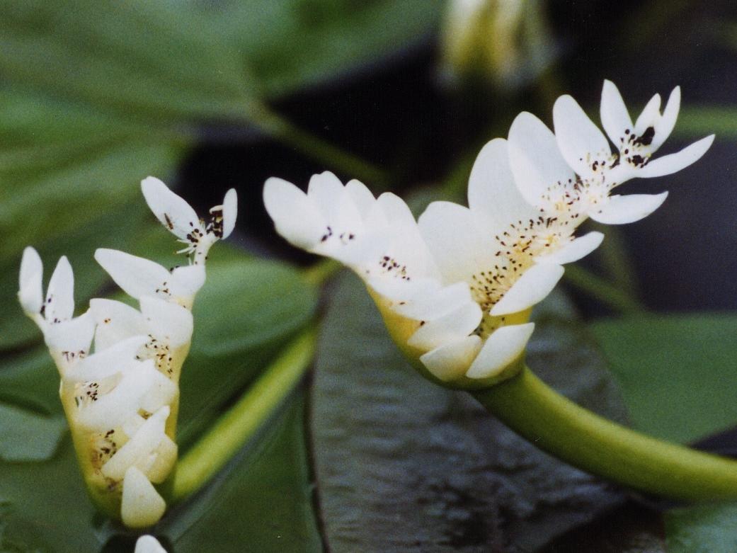 Aponogeton distachyos - aponogeton dvojklasý