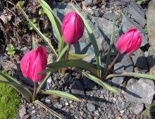 "Tulipa humilis ""Violacea Black Base"""