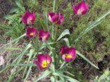 "Tulipa humilis ""Persian Pearl"""