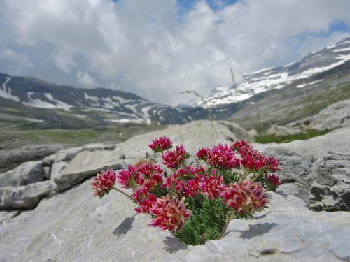 Anthyllis montana (bôľhoj horský)