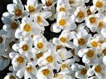 """Crocus chrysanthus """"Ard Schenk"""""""