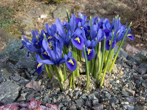 """Iris reticulata """"Harmony"""""""