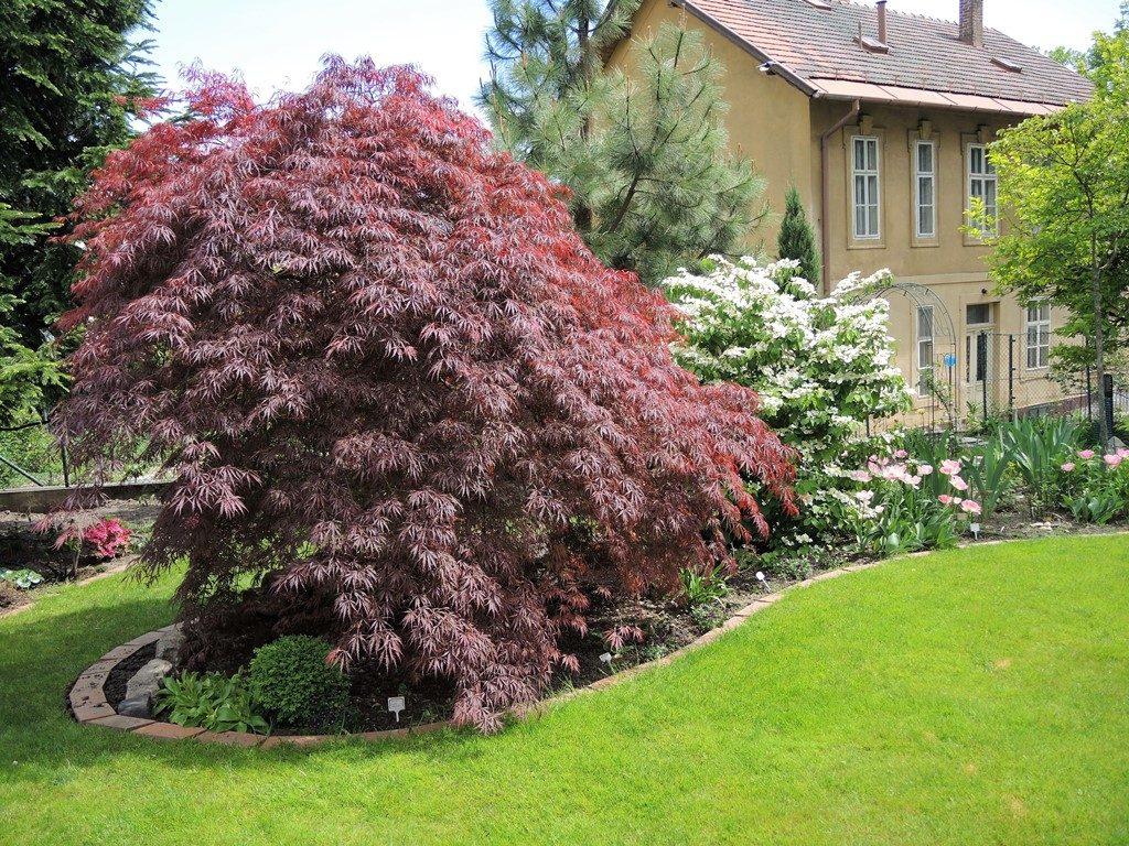 Červený-javor-dlaňolistý-dobre-rastie-v-trávniku-ktorý-mu-zabezpečí-vzdušnú-vlhkosť-1024x768