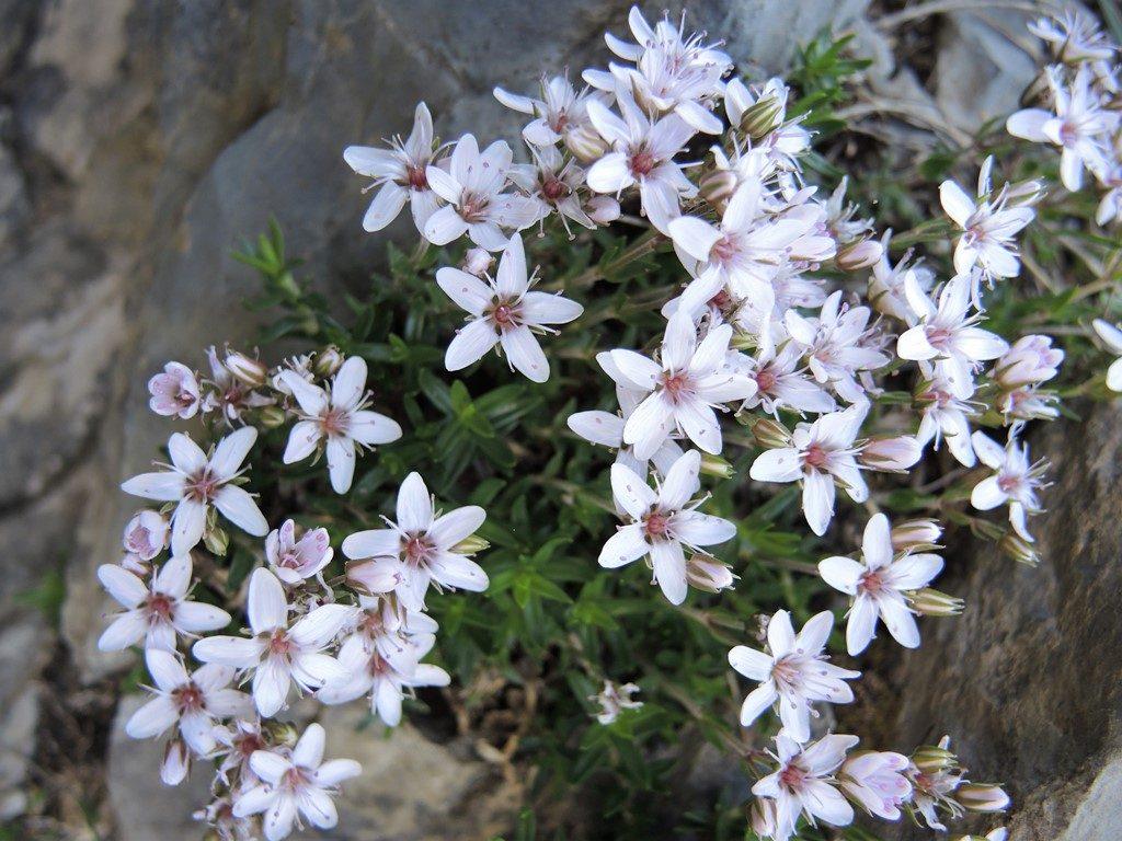 Arenaria-purpurascens-Pyreneje-1024x768