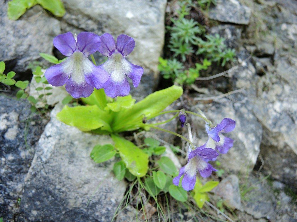 Pinguicula-grandiflora-Pyreneje-1024x768