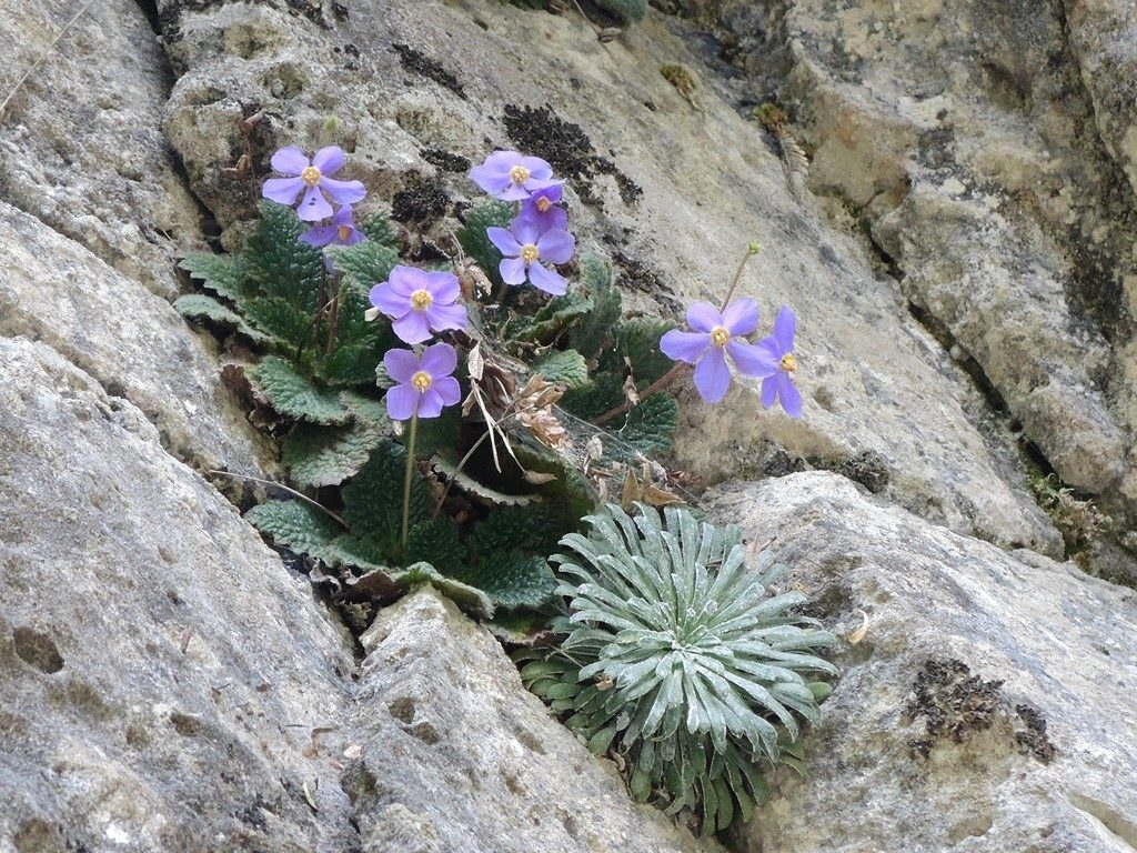Ramonda-myconi-a-Saxifraga-longifolia-Pyreneje-1024x768