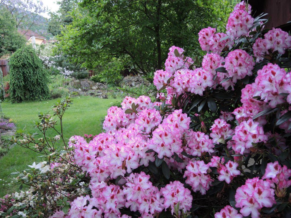 Rhododendron-Hachmann´s-Charmant-zdobí-jarnú-záhradu-1024x768