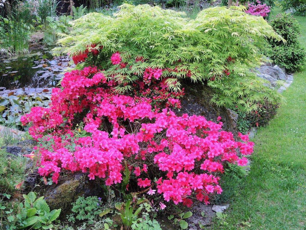 Rozkvitnutá-japonská-azalka-na-pozadí-zeleného-javora-dlanitolistého-1024x768