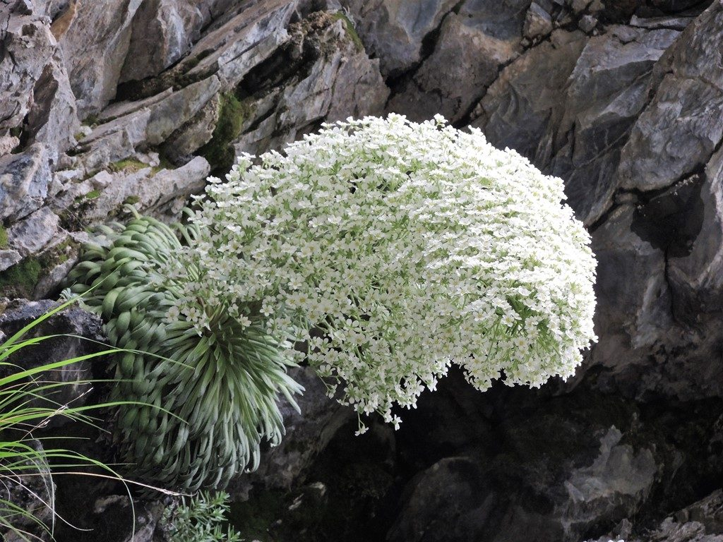 Saxifraga-longifolia-Pyreneje-1024x768