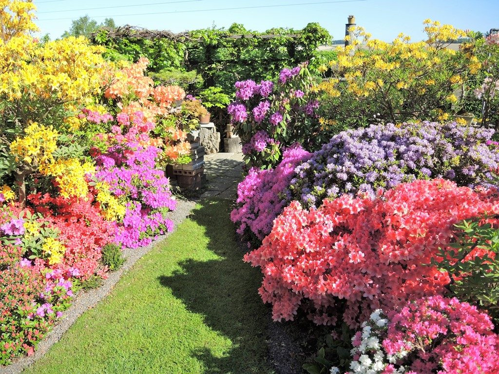 Záhony-rododendrónov-a-azaliek-sú-v-čase-kvitnutia-neprekonateľné-1024x768