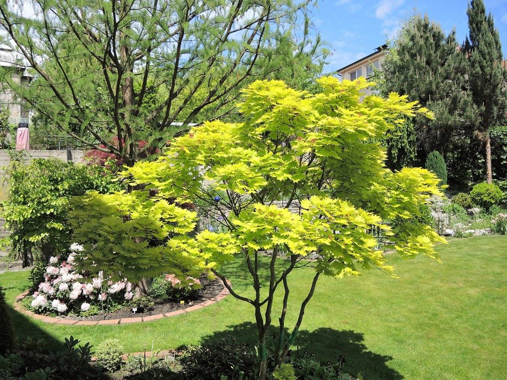 Zlatolistý-javor-japonský-je-vzácnou-dekoráciou-záhrady-1024x768