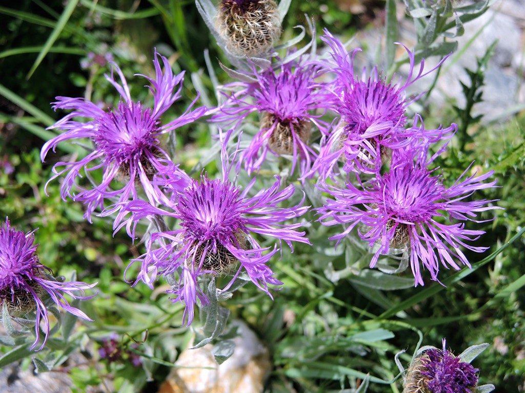 DSCN0308-2-Centaurea-uniflora-1024x768