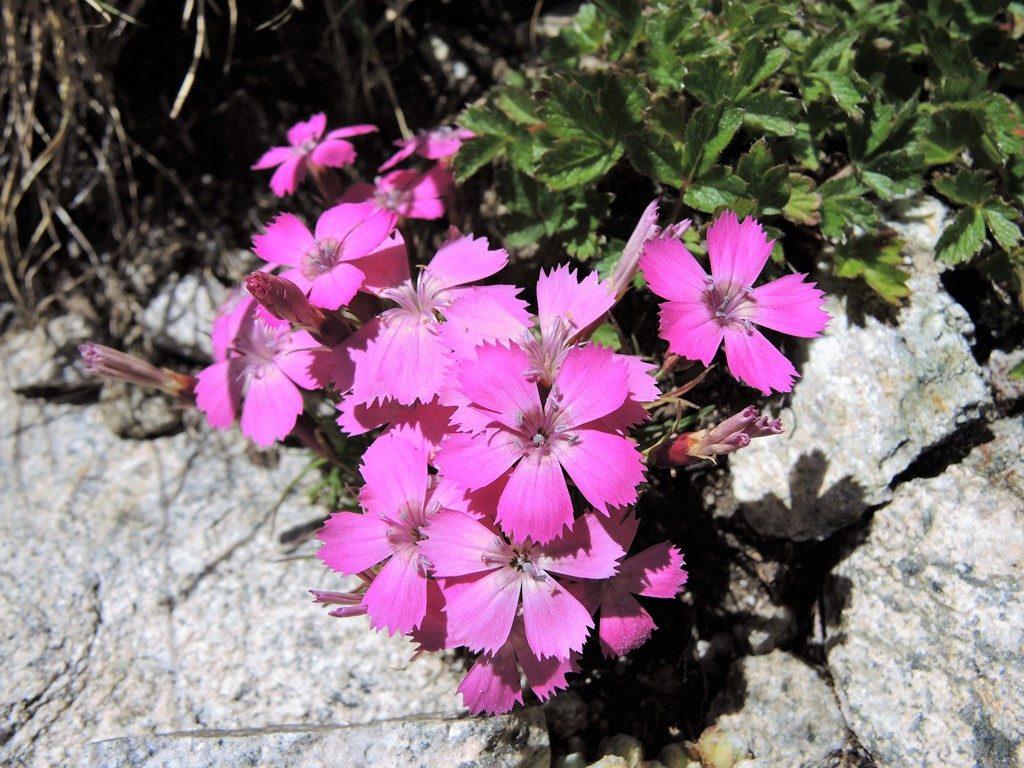 DSCN0331-3-Dianthus-pavonius-1024x768