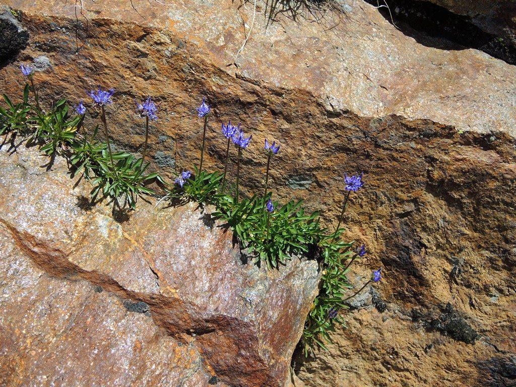 DSCN0333-2-Phyteuma-globularifolia-1024x768