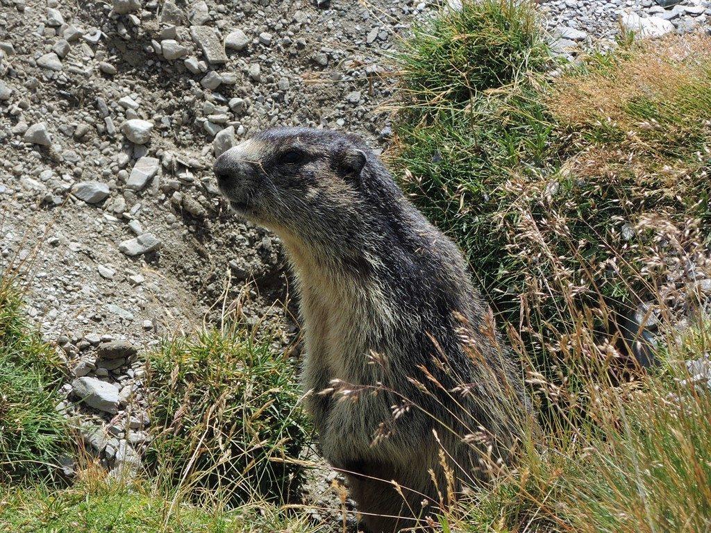 DSCN0823-2-Marmota-marmota-1024x768
